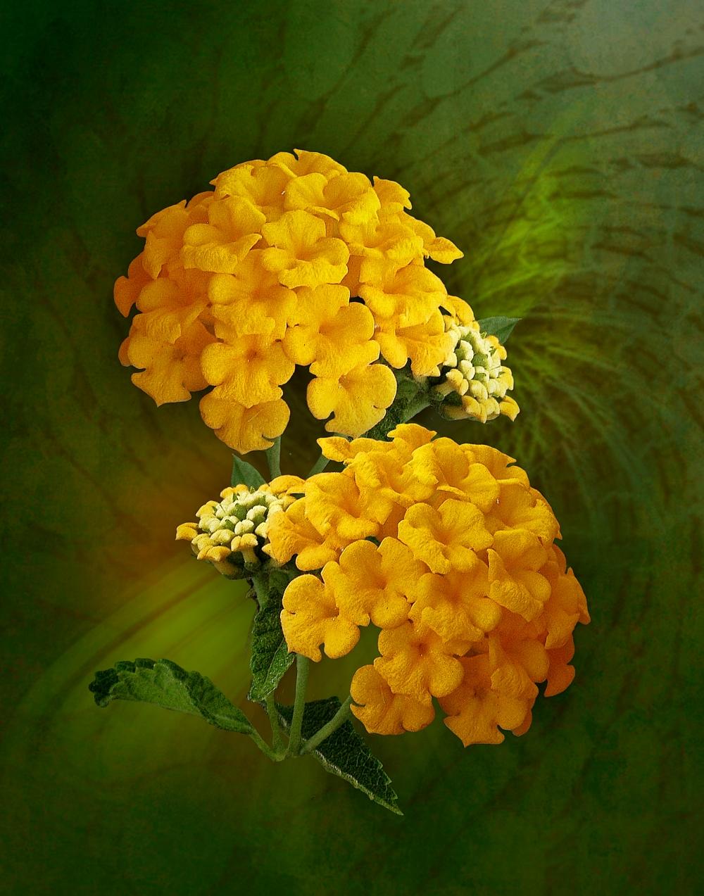 Yellow Lantana By Avmurray