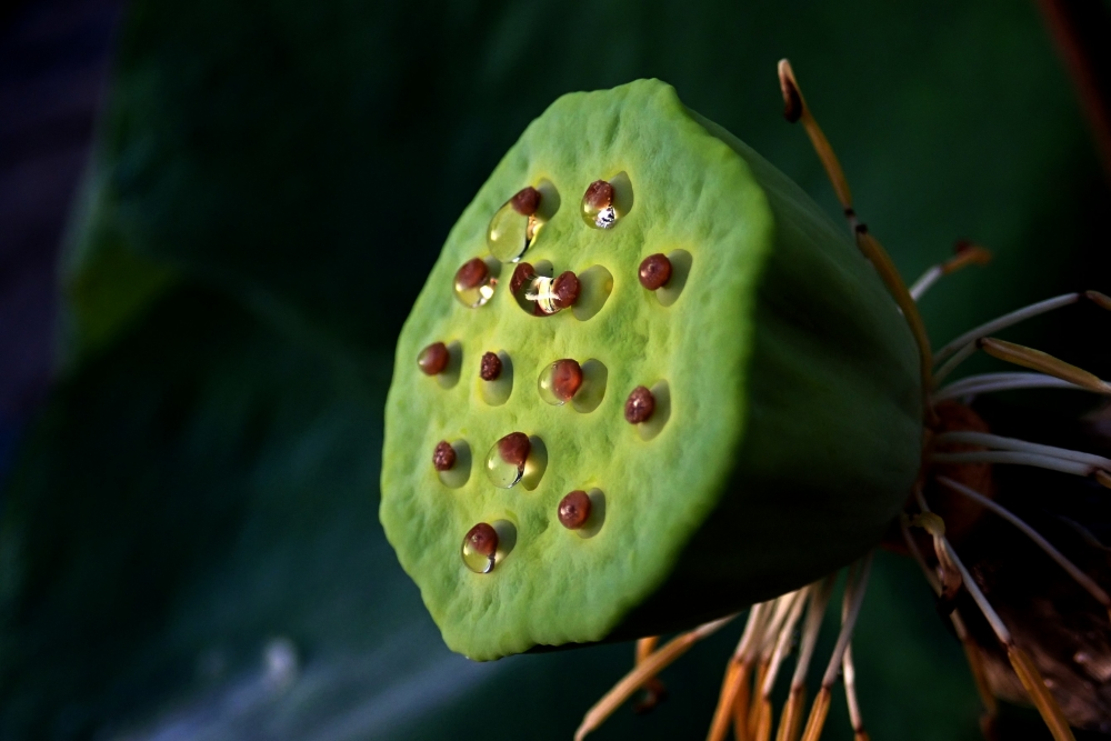 The Lotus Seed Pod By Supergold