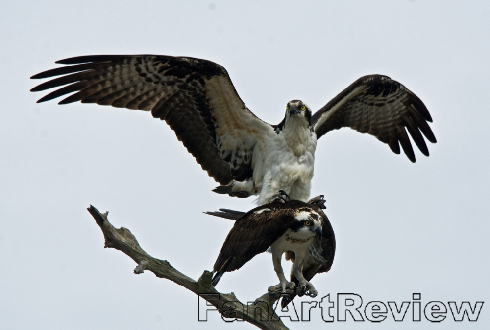 Mating osprey by michiganmike