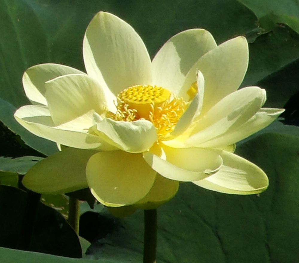 Lotus Flower By Dalebraatz